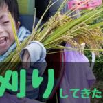 収穫の秋!鎌を使って稲刈り!おいしいごはんができるかな|山形旅行【前編】